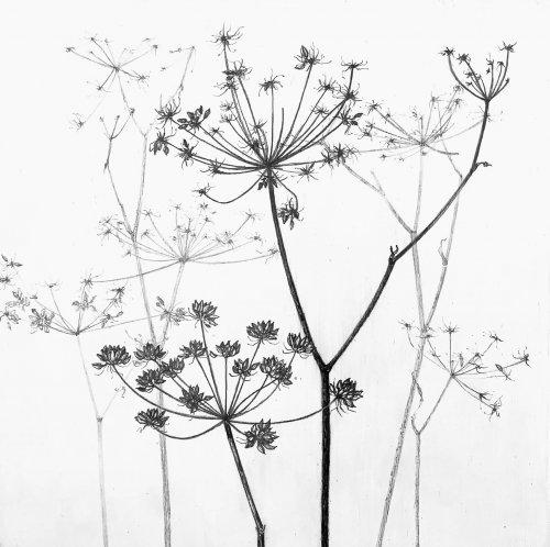 Jane-Wolsak-Water-Parsley-2019-Graphite-On-Gessoed-Panel-8x8-300-Online-Art-Galleries