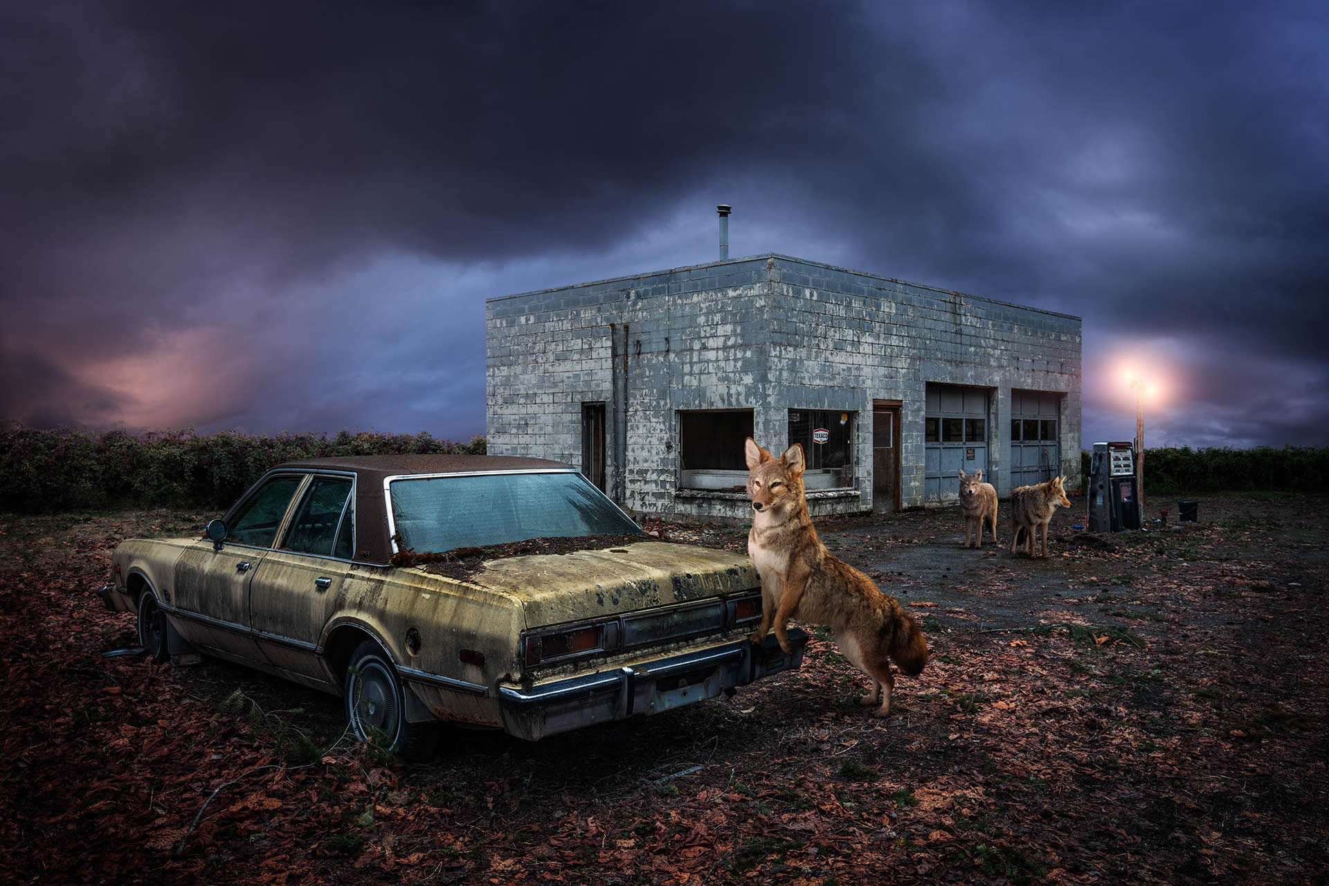 Kevin-Lanthier-Lone-Coyotes-Online-Art-Galleries